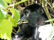 Uganda: gorilla trekking Bwindi Forest National Park