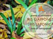 piante novembre: iris giapponese (iris japonica)