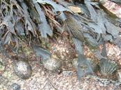 alghe contro radiazioni