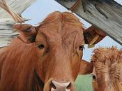 Cuore mucca