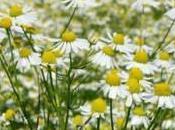 Fiore camomilla: caratteristiche benefici