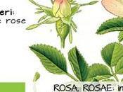 Torna Rosa, Rosae