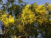 marzo, solo mimose