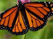 Svelato mistero della farfalla monarca