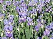 chianti tempo fioritura degli iris firenze apre giardino dell'iris piazzale michelangelo