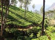 Lankamale: Kandy, piantagioni Nuwara Eliya