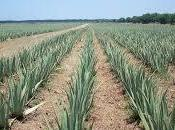 Aloe vera forever garanzia qualità costanza concentrazione nutrienti composizione