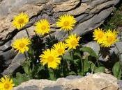 Arnica montana, fiori Arnica, proprietà benefiche.