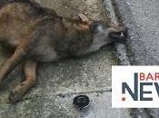 Puglia, lupo morto ciglio strada Barletta