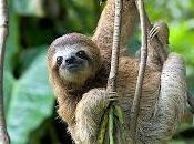 Elogio bradipo, maestro dell'antistress
