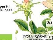 Rosa, Rosae Abor Arboris
