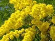 Marzo. Perchè alla Festa della Donna regalano mimose? Ecco leggenda dell'albero