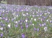 Primavera vilazim