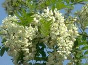 Altre ricette fiori acacia: risotto, frittata, marmellata