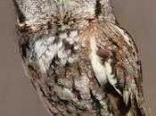 musictherapy611: Daily Bird: Eastern Screech Range: east of...
