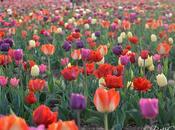 Milano giardino tulipani u-pick