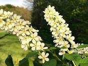 Conoscere Prunus padus