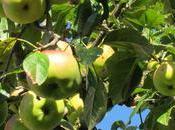 Mela renetta: proprietà, benefici ricetta