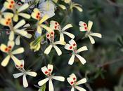 #fioridivenerdì pelargoni botanici