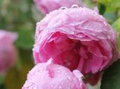 rose antiche pot-pourri