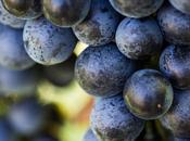 Schioppettino Prepotto: storia vitigno estinzione della rinascita