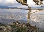 Grave episodio disturbo nido falco pescatore. Multato pseudo fotografo