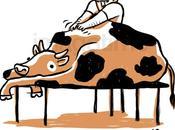 Mucche rilassate