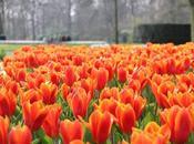 #expatmonth: primavera, tulipani decolli