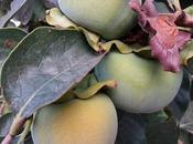 Frutta stagione Kaki Cachi), pomo dalle sette virtù