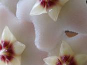 Impollinazione delle Asclepiadaceae