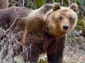 Grande mobilitazione difesa dell'Orso Marsicano, simbolo Parco Nazionale dell'Abruzzo.