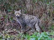gatto selvatico Monti Sibillini