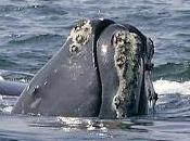 Tanti problemi ancora balene franche Nord Atlantico