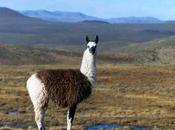 segreto mais degli Inca? Escrementi lama