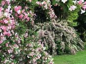 #fioridivenerdì- Weigelia, arbusto poco conosciuto