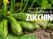 Come coltivare zucchine