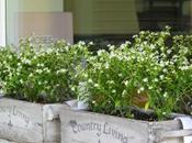 Opuntia ficus-indica altre novità miei vasi estivi