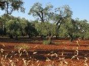 Xylella pesticidi, cosa avvelena Puglia