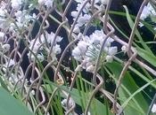 piante lungo sentiero bosco .... aglio orsino