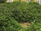 Carissa grandiflora 'Tuttlei': fiori bianchi profumano gardenia