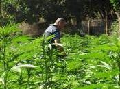 Reggio Calabria: sequestata piantagione oltre 3.000 piante marijuana