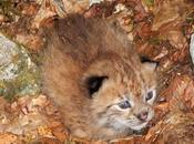 prima foto cucciolo lince Balcani