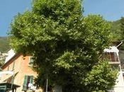 l'albero vicino pontile POGNANA, LUGLIO 2018