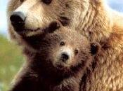 Mamma orsa muore salvare cucciolo