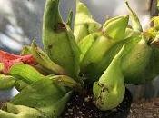 Sarracenia purpurea Smurf