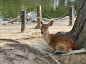Cervi templi Nara