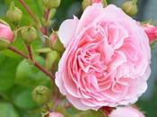 rose peonie Teresa