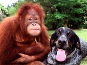 Suryia roscoe... l'orango cane sono amici pelle
