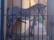 ferragosto della zebra
