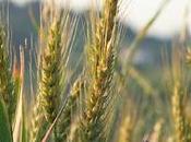 Virtù cereali secondo Nonna: Segale